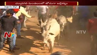 Jallikattu Competition Continues after Sankanti in Chittoor District