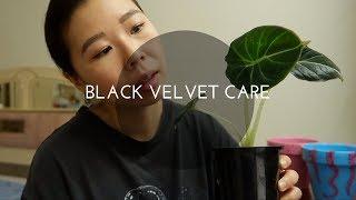 How to Care for Your Alocasia Black Velvet