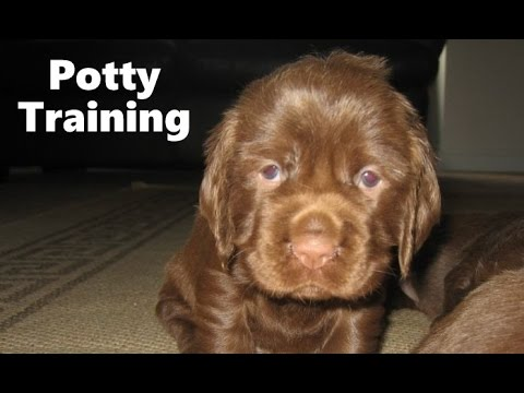 Training Spaniel Puppies a Sussex Spaniel Puppy