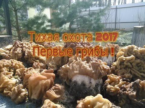 Тихая охота 2017. Первые Весенние грибы.Строчки. 25 Апреля.