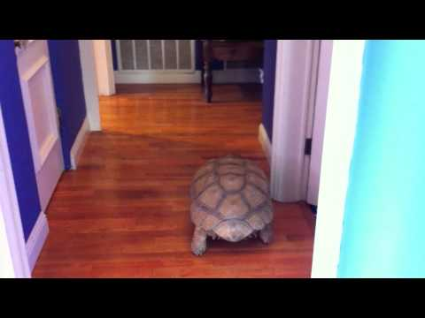 Giant Tortoise  in the House ... Again