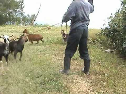 Goat Porn.mpg video