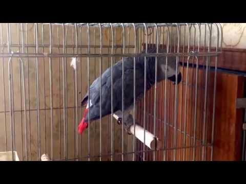 Говорящий попугай Сережа танцует
