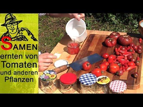 Samenernte von Tomaten und andern Gartenpflanzen