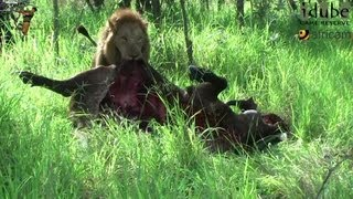 The Strength Of A Lion - Dragging a Buffalo Carcass