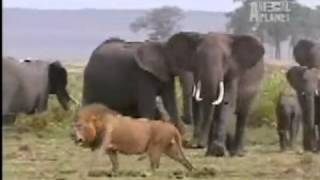 Elephants vs lions - Run away or die !!