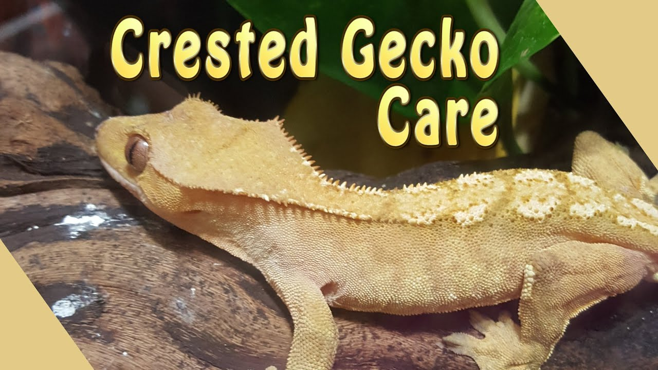 Leopard Gecko Anatomy 8767014 Follow4morefo