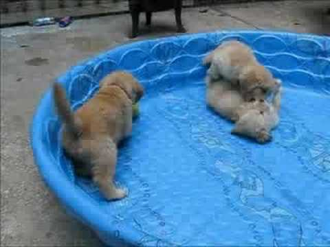6-week old Golden Retriever puppies playing