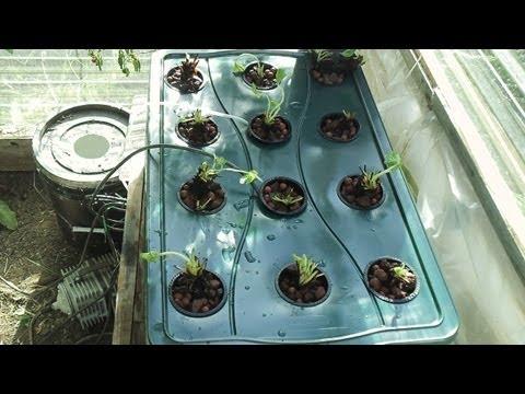 Growing Winter Strawberries In Hydroponics Part 1