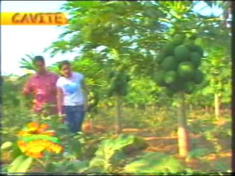 RED LADY PAPAYA Kumikitang Kabuhayan