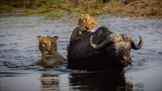 Chobe National Park - Lions attack Buffalo - Oct 10, 2016