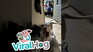Helpful Dog Brings in the Groceries || ViralHog