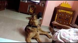 Funny German shepherd houl's and tries to sing
