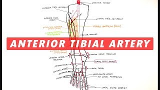 Anterior Tibial & Dorsalis Pedis arteries branches - Anatomy Tutorial