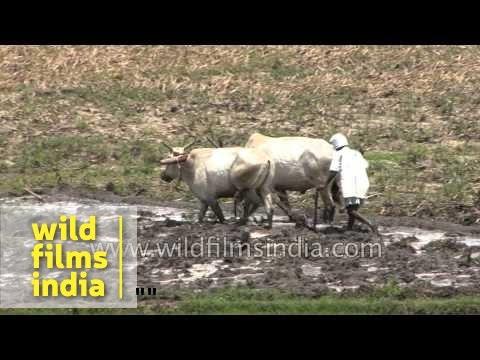 Indian farmer plows with bullocks