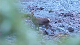 Southern Alps Spring Red Deer Reconnaissance