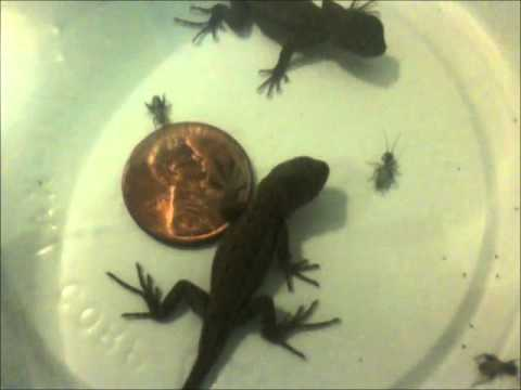 0 Baby Fence Lizards First Food