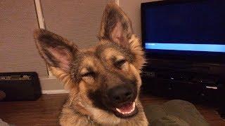 4 you - Funniest German Shepherd Videos #4