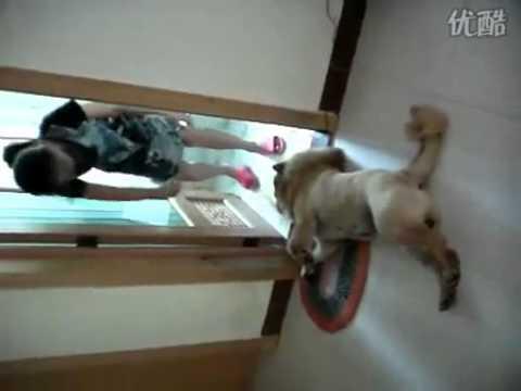Dog Playing Dead Dog Plays Dead to Avoid Bath