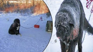 This Wounded Dog Was Left Chained In Subzero Weather For 4 Years – Until Rescuers Heard Of His Fate