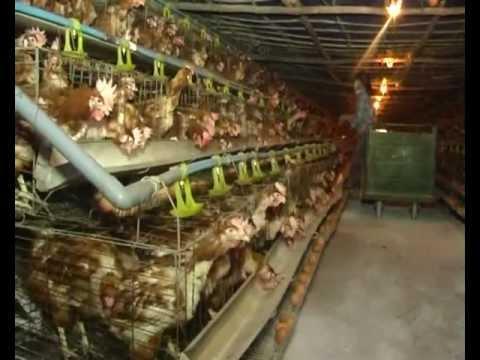 Mô hình nuôi gà đẻ siêu trứng tại xã Đồng Trúc - Thạch Thất