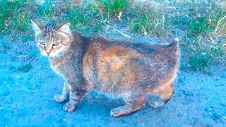 Cat has no Tail | Unhappy hungry Cat lives on the street