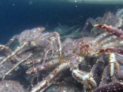 King Crabs King Crab Tank Underwater View