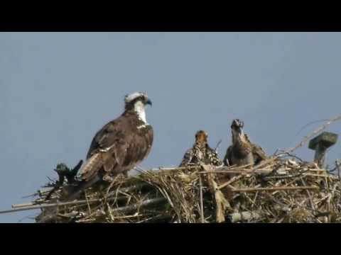 Osprey juveniles & adult on the nest, Jamaica Bay Wildlife Refuge