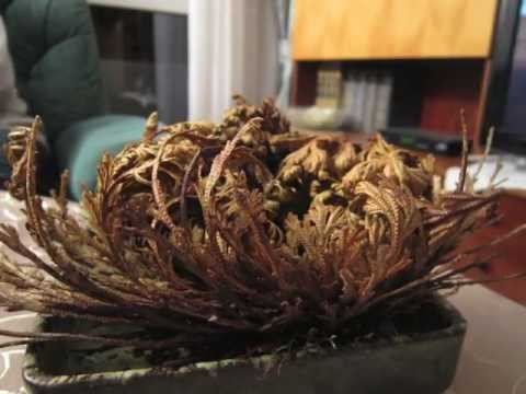 resurrection plant. Black Bedroom Furniture Sets. Home Design Ideas