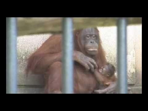 旭山動物園のボルネオオランウータンの赤ちゃんモリト君誕生!