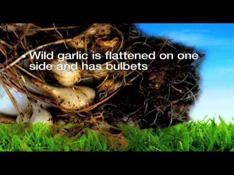Georgia Lawn Care- Weed Pro: Wild Onion Weed