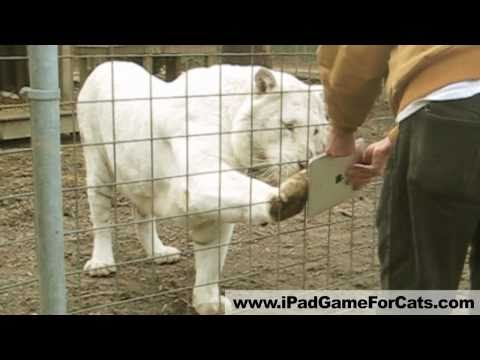 White Tiger Plays iPad - Game for Cats Gone Wild! Lions, servals, and more!