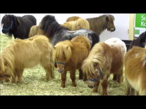 Equitana 2011 ! Beautiful Shetland - Ponys !   Essen / Germany , März 2011 !