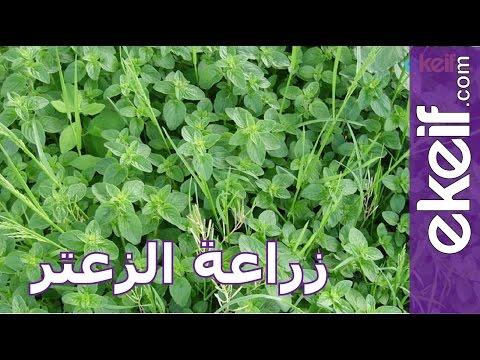 كيف تزرع الزعتر؟ thumbnail