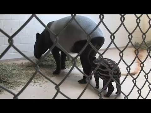 Denver Zoo Welcomes Tapir Calf