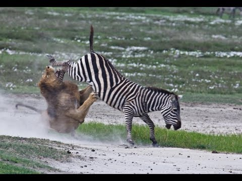 Lion Zebra Baby Zebra Kills And Eats Lion