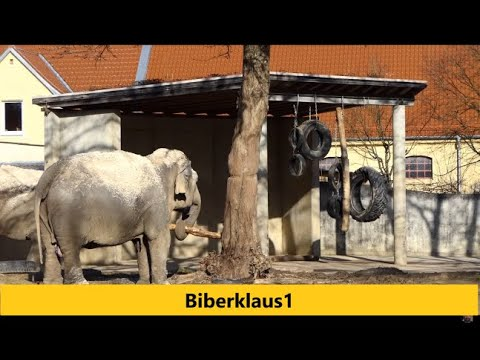 Elefant trommelt im Zoo Augsburg