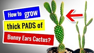 How to fix etiolated Bunny Ears Cactus and grow thick PADS? | Succulents for beginners