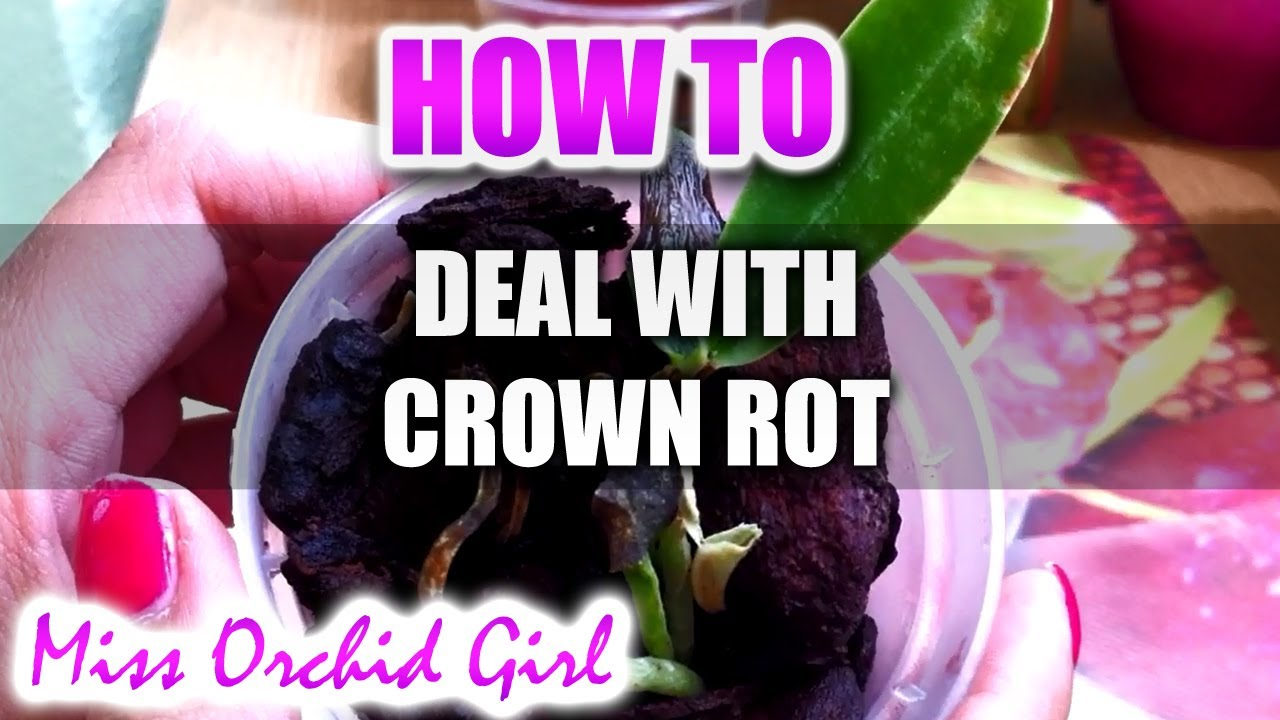 Attempting To Rescue An Orchid From Crown Rot Youtube