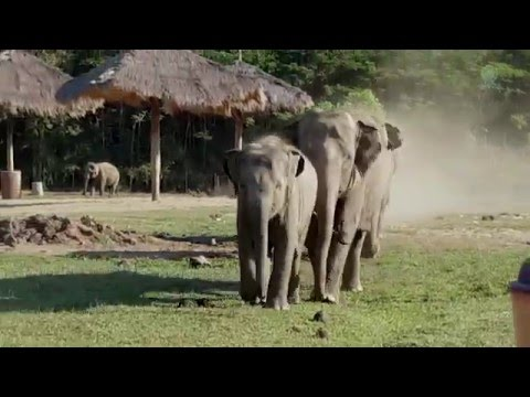 When an elephant herd meet with the tractor driver