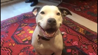 LIVE: Friendly Pit Bull Mix Looks for a Forever Home | The Dodo ADOPT THIS DOG