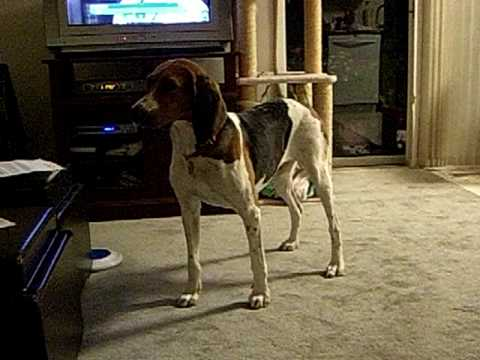 Sydney the Tree Walker Coon Hound Video