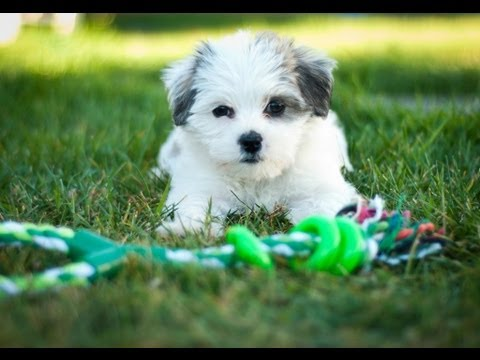 Maltese Shih Tzu (Shitzu) Puppy Meets Bunny Rabbit