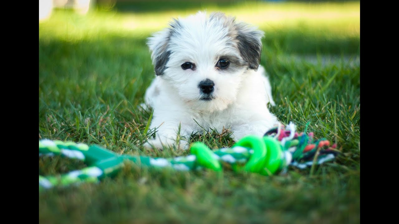 Maltese Cross Dogs Puppies Sale