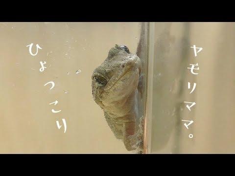 ニホンヤモリの画像 p1_37