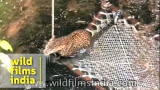 Forest officers rescue leopard from a well in India