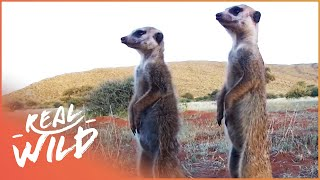 (41.5 MB) Meerkat Wars [Episode 2 of Kalahari Meerkats] | Wild Things Mp3