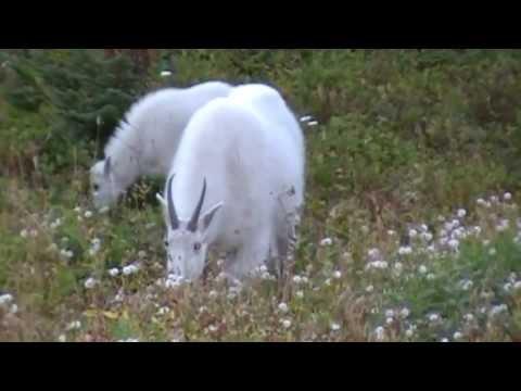 Glacier NP Mountain Goat & Kid