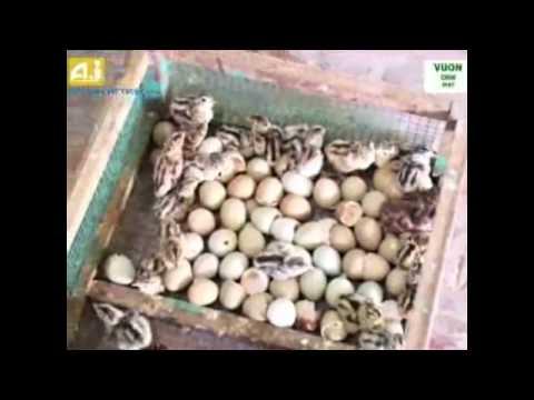 Hướng dẫn nuôi chim trĩ đỏ khoang cổ trắng-http://vuonchimviet.com