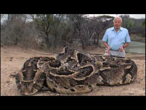 The Puff Adder